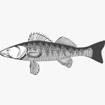 pike-perch